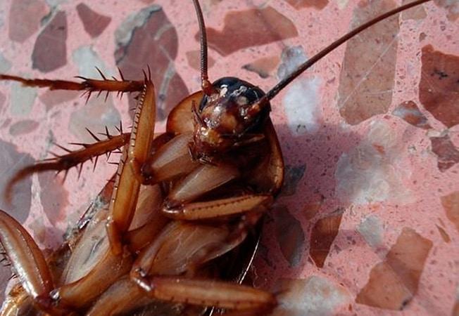 Cucarachas cómo eliminarlas