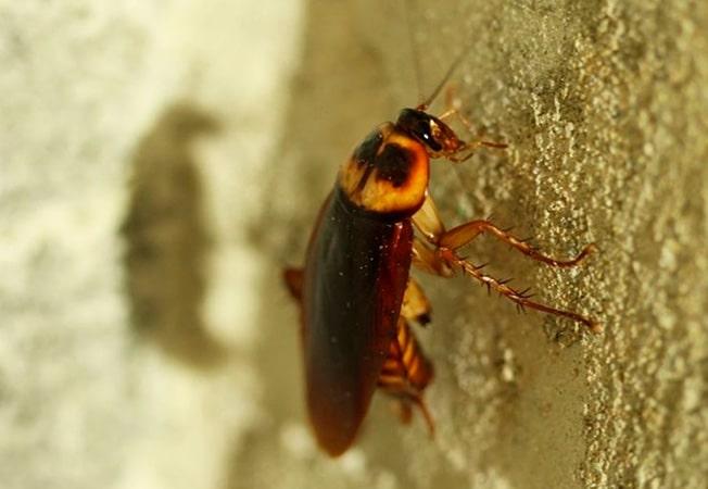 Lo que debes saber sobre las cucarachas