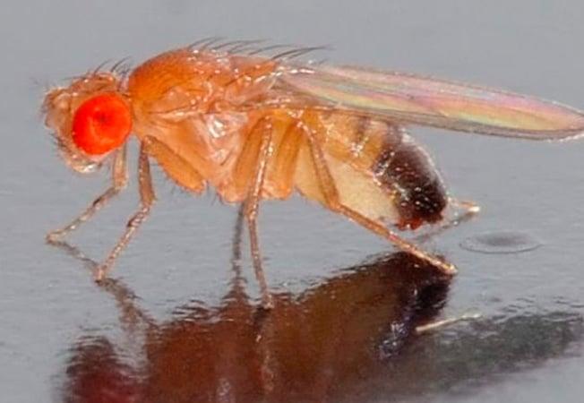 Las plagas de la mosca del vinagre y la fruta en las casas
