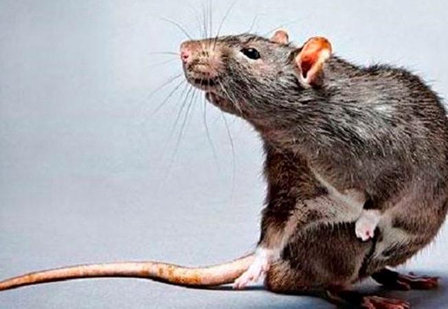 ¿Cómo combatir una plaga de ratas?